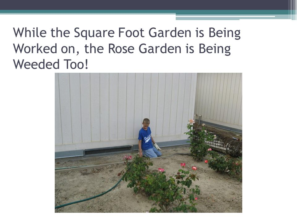 While the Square Foot Garden is Being Worked on, the Rose Garden is Being Weeded Too!