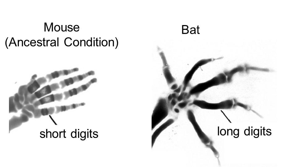 Mouse (Ancestral Condition) Bat short digits long digits