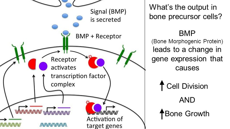 Cell # 1 Cell # 2 BMP (Bone Morphogenic Protein) leads to a change in gene expression that causes Cell Division AND Bone Growth What's the output in bone precursor cells