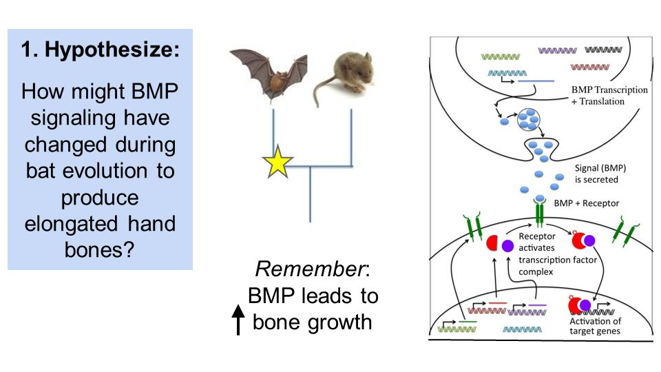Remember: BMP leads to bone growth 1. Hypothesize: How might BMP signaling have changed during bat evolution to produce elongated hand bones?