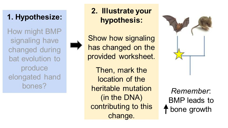 Remember: BMP leads to bone growth 2. Illustrate your hypothesis: Show how signaling has changed on the provided worksheet. Then, mark the location of