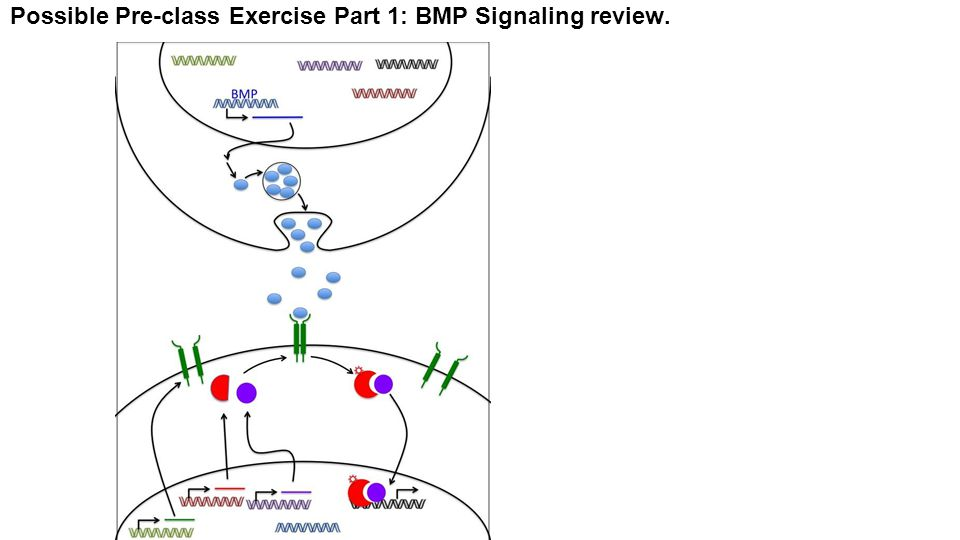 Possible Pre-class Exercise Part 1: BMP Signaling review.
