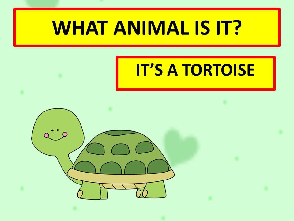 WHAT ANIMAL IS IT IT'S A TORTOISE