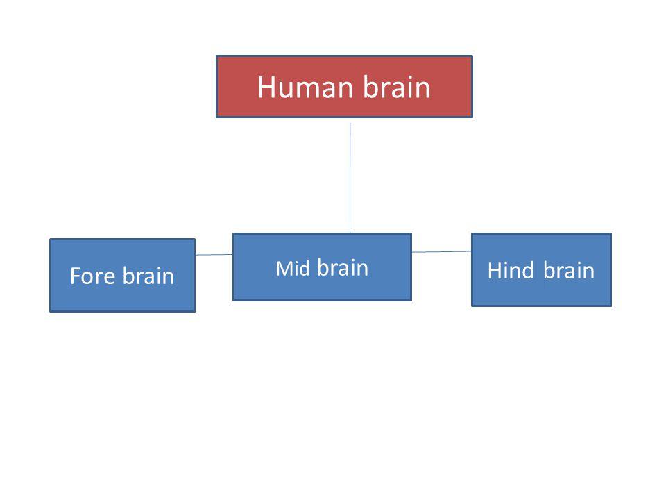 Human brain Fore brain Mid brain Hind brain