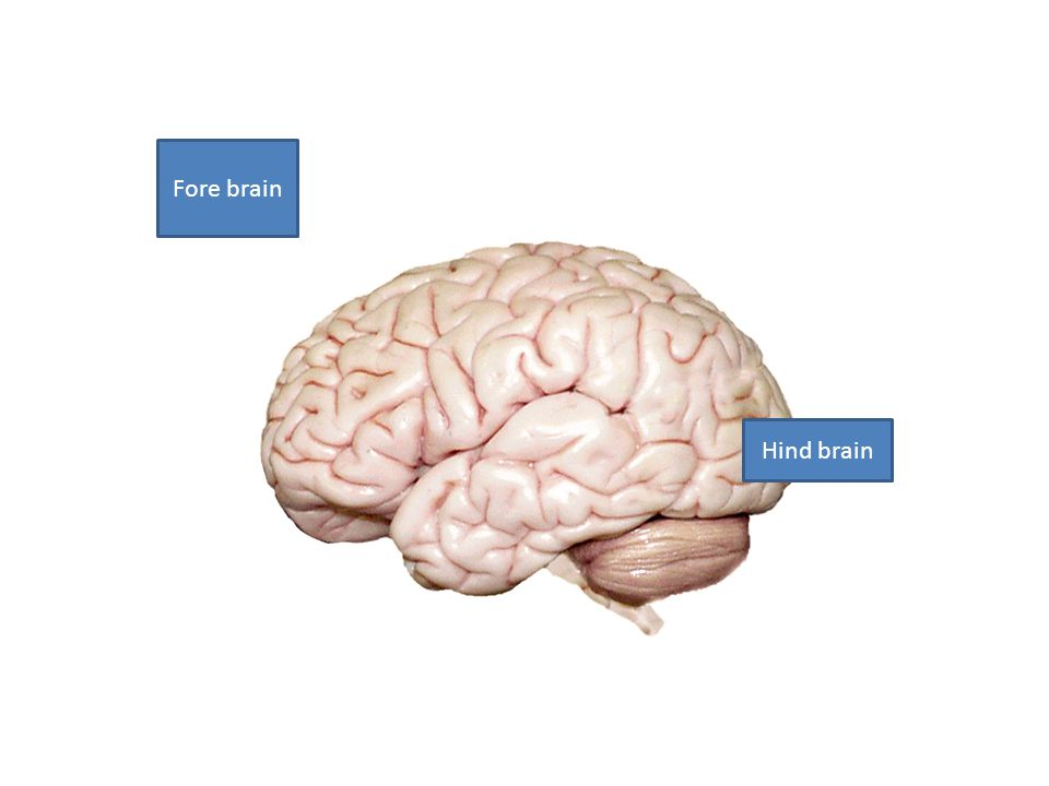Fore brain Hind brain
