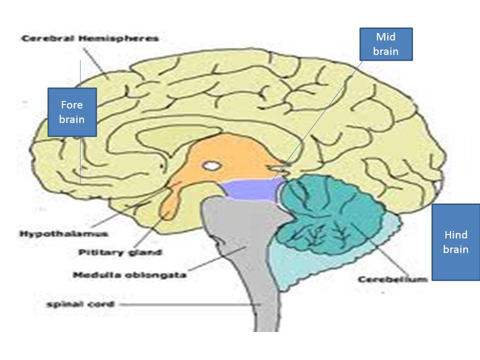 Hind brin Fore brain Hind brain Mid brain