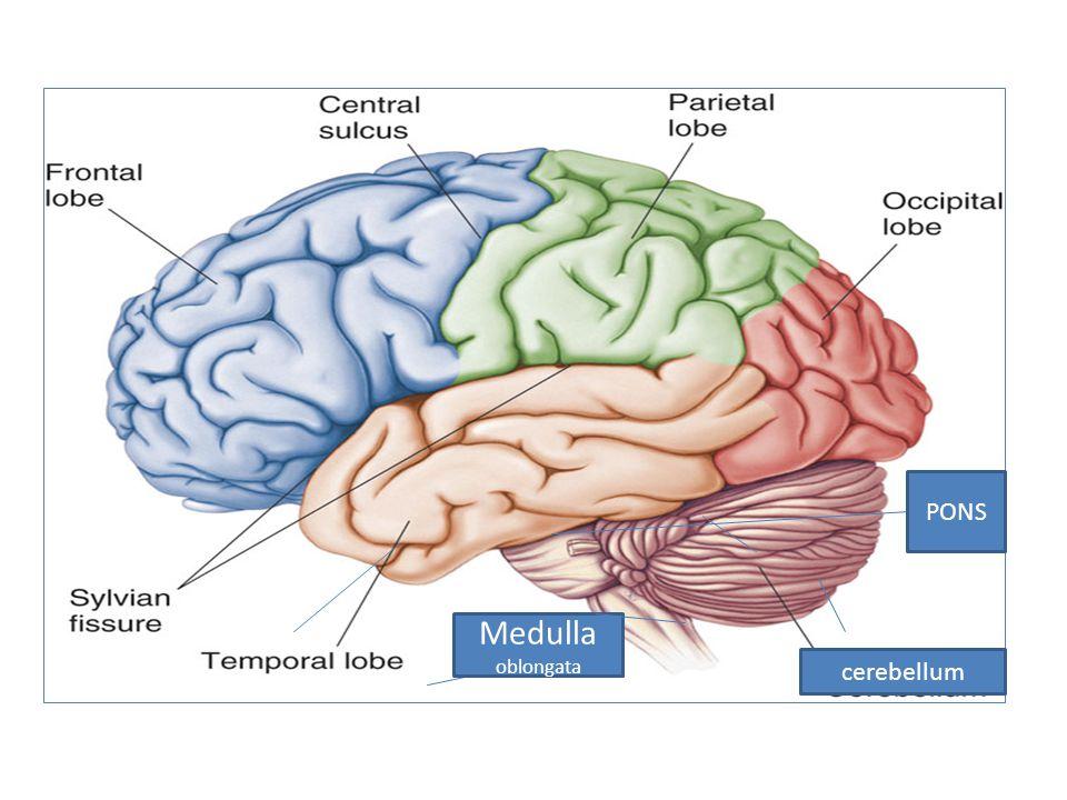 PONS cerebellum