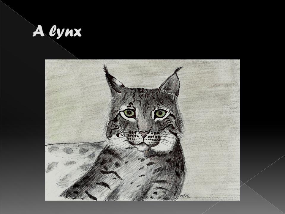 It is a lynx.