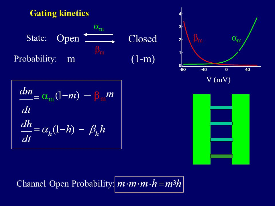 V (mV) mm mm Open Closed mm mm m Probability: State: (1-m) mm mm Channel Open Probability: Gating kinetics