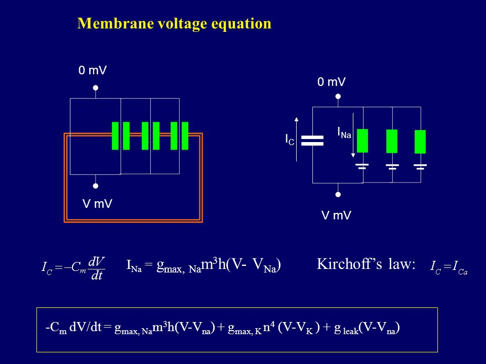 V mV 0 mV V mV 0 mV ICIC I Na Kirchoff's law: Membrane voltage equation I Na = g max, Na m 3 h(V- V Na ) -C m dV/dt = g max, Na m 3 h(V-V na ) + g max, K n 4 (V-V K ) + g leak (V-V na )