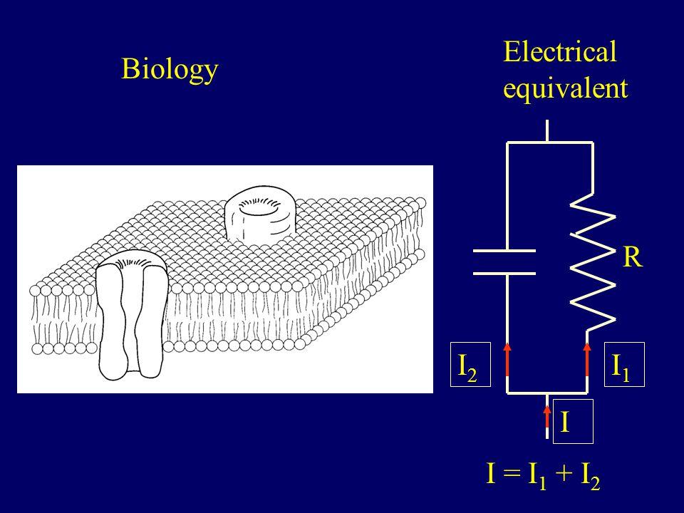 R I1I1 Biology Electrical equivalent I2I2 I = I 1 + I 2 I