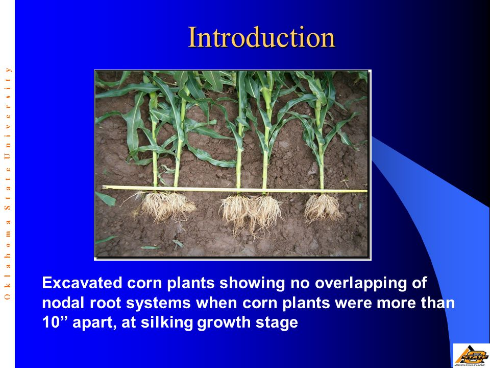"""Introduction Excavated corn plants showing no overlapping of nodal root systems when corn plants were more than 10"""" apart, at silking growth stage O k"""