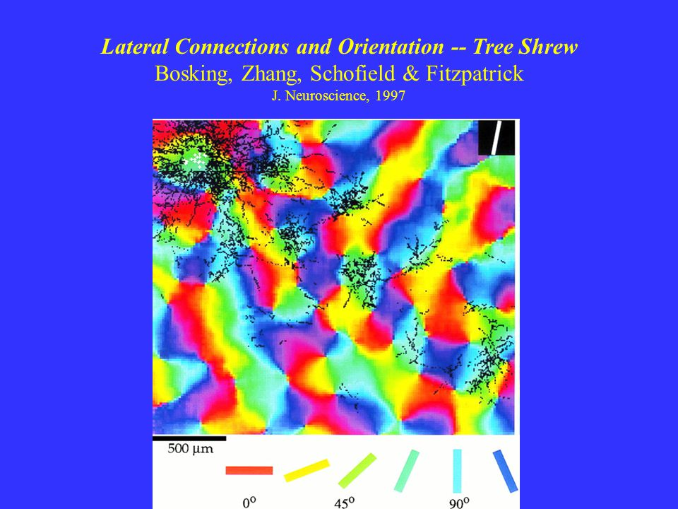 Lateral Connections and Orientation -- Tree Shrew Bosking, Zhang, Schofield & Fitzpatrick J.