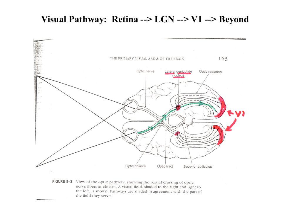 Visual Pathway: Retina --> LGN --> V1 --> Beyond