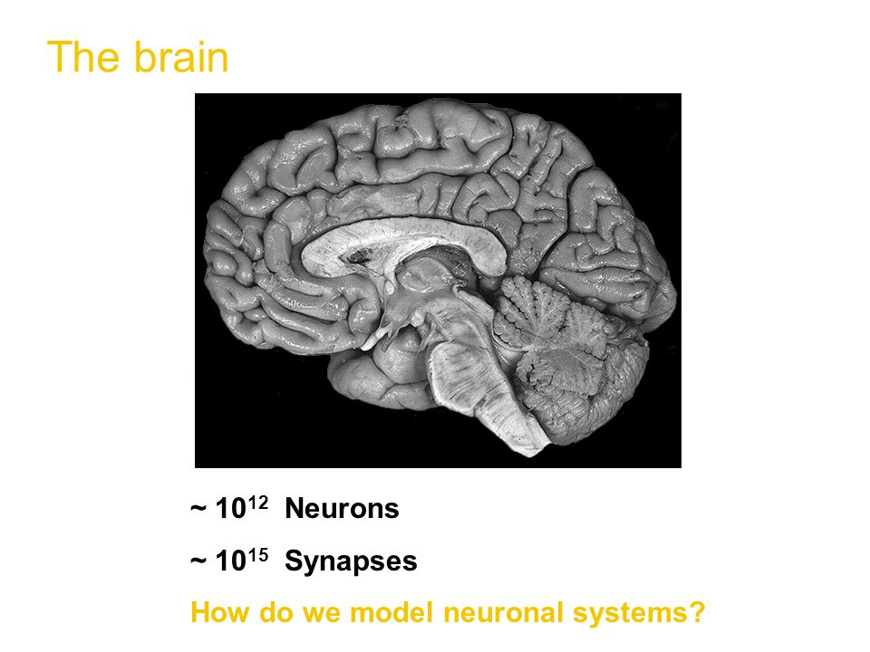 The brain ~ 10 12 Neurons ~ 10 15 Synapses How do we model neuronal systems