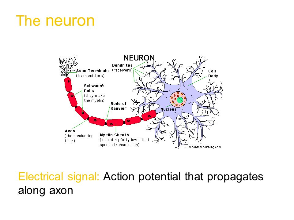 Network Architecture  Which neurons communicate with each other.