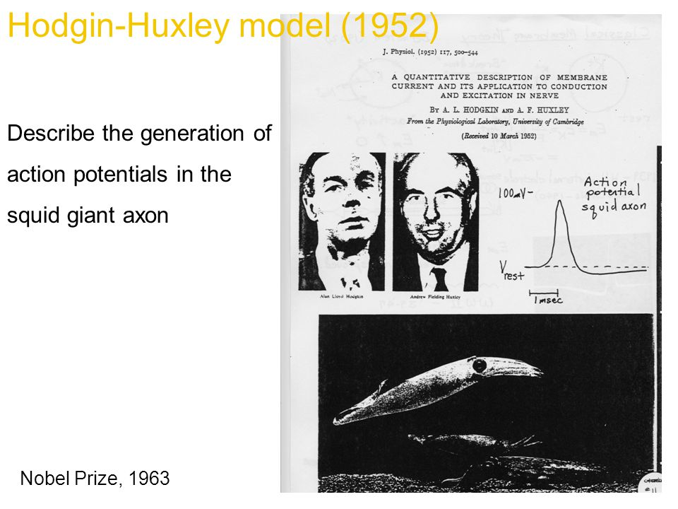 Nobel Prize, 1963 Hodgin-Huxley model (1952) Describe the generation of action potentials in the squid giant axon