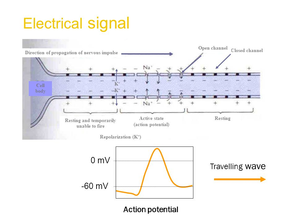 Closed channel Open channel Direction of propagation of nervous impulse RestingActive state (action potential) Resting and temporarily unable to fire Repolarization (K + ) K+K+ K+K+ Cell body Electrical signal Travelling wave Action potential 0 mV -60 mV