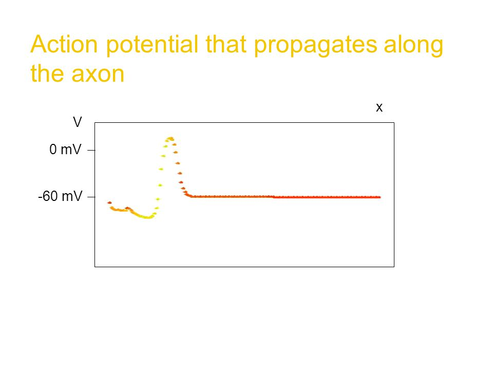 Action potential that propagates along the axon x V -60 mV 0 mV