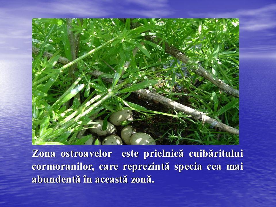 Zona ostroavelor este prielnică cuibăritului cormoranilor, care reprezintă specia cea mai abundentă în această zonă. Zona ostroavelor este prielnică c