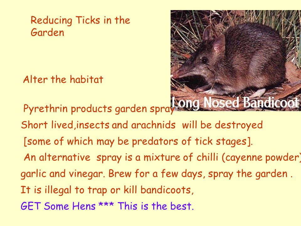 The Natural Host The Bandicoot can carry large numbers of ticks without illness Housing development brings bandicoots into closer contact with Pets Tick burdens in bandicoots may increase if the bandicoots are unwell.