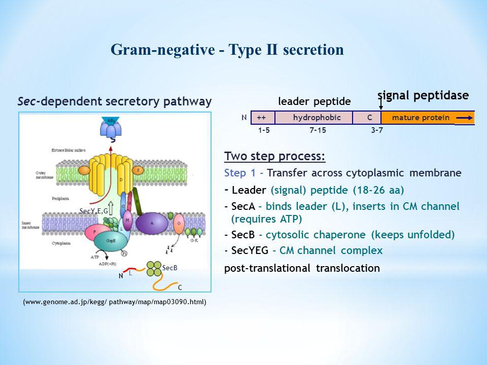 Gram-negative - Type II secretion N C SecB L SecY,E,G (www.genome.ad.jp/kegg/ pathway/map/map03090.html) Sec-dependent secretory pathway Two step proc