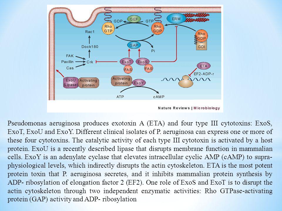 Pseudomonas aeruginosa produces exotoxin A (ETA) and four type III cytotoxins: ExoS, ExoT, ExoU and ExoY. Different clinical isolates of P. aeruginosa