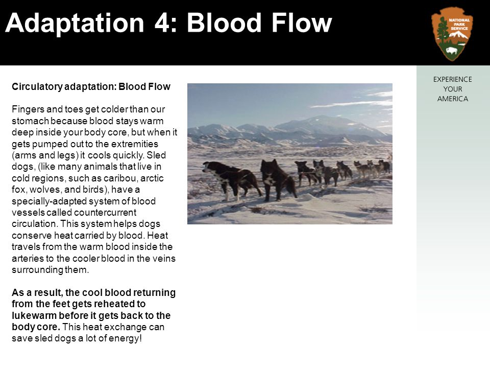 Circulatory adaptation: Blood Flow Fingers and toes get colder than our stomach because blood stays warm deep inside your body core, but when it gets pumped out to the extremities (arms and legs) it cools quickly.