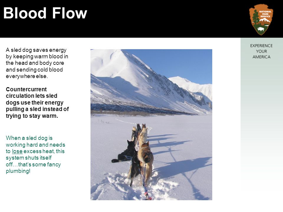 A sled dog saves energy by keeping warm blood in the head and body core and sending cold blood everywhere else.