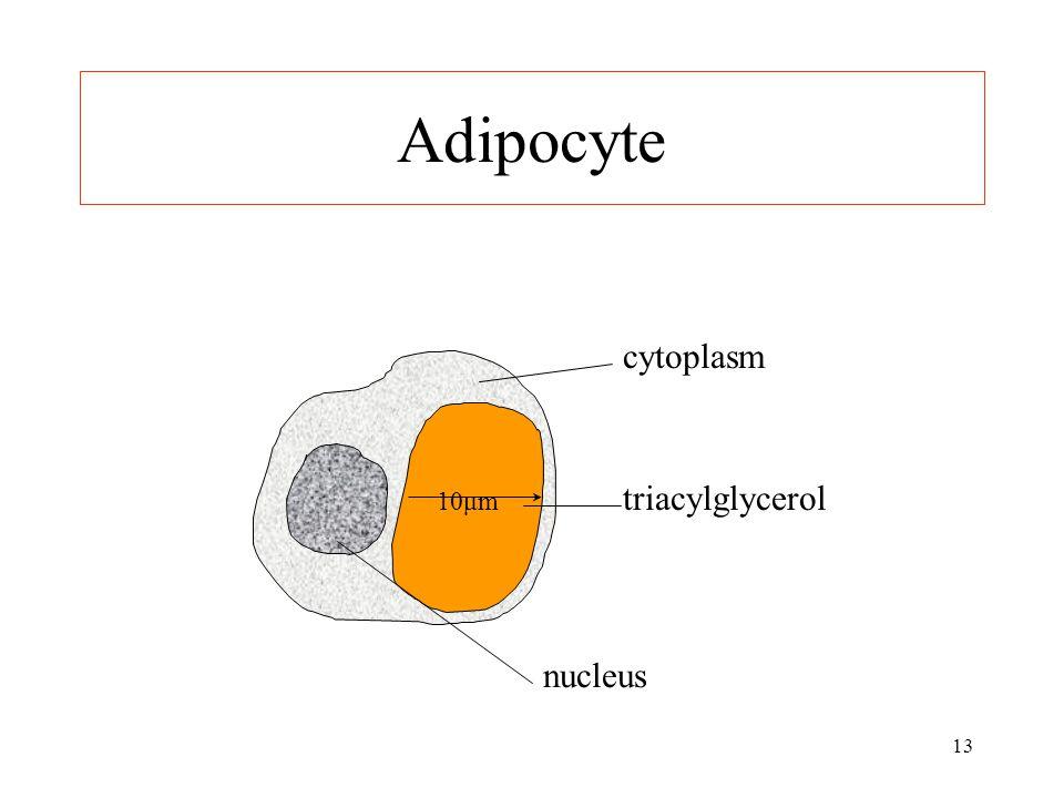 13 Adipocyte nucleus triacylglycerol cytoplasm 10μm