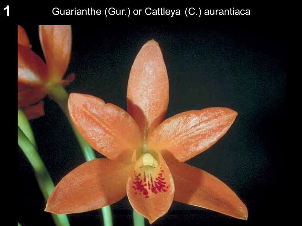 1 Guarianthe (Gur.) or Cattleya (C.) aurantiaca