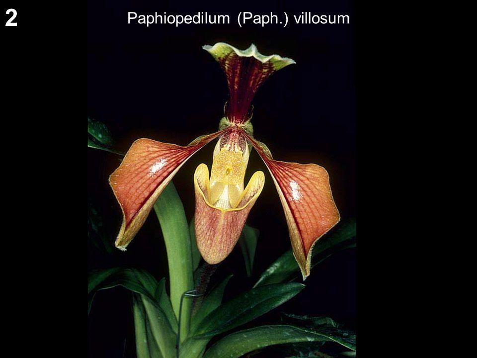 2 Paphiopedilum (Paph.) villosum