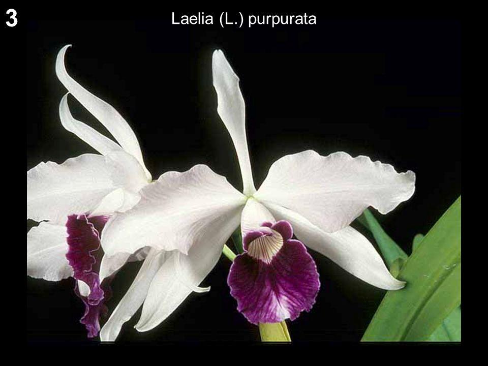 3 Laelia (L.) purpurata