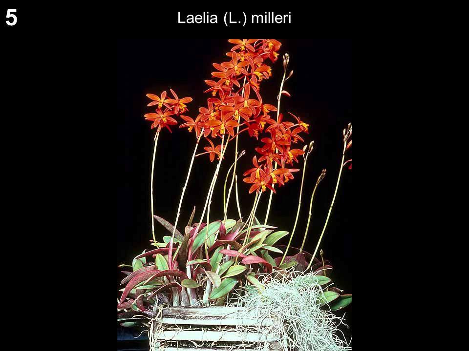 5 Laelia (L.) milleri