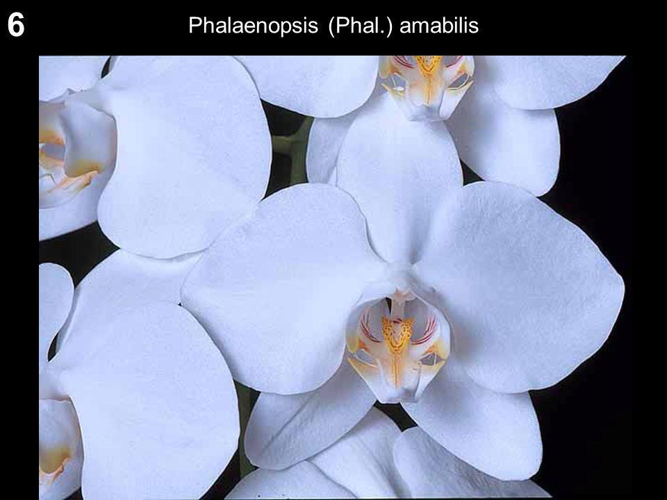6 Phalaenopsis (Phal.) amabilis