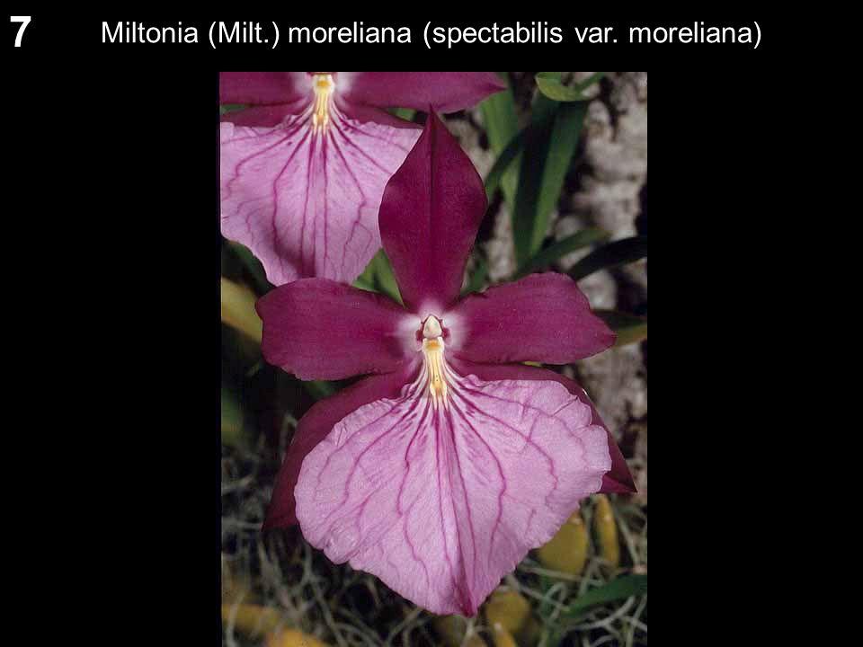 7 Miltonia (Milt.) moreliana (spectabilis var. moreliana)
