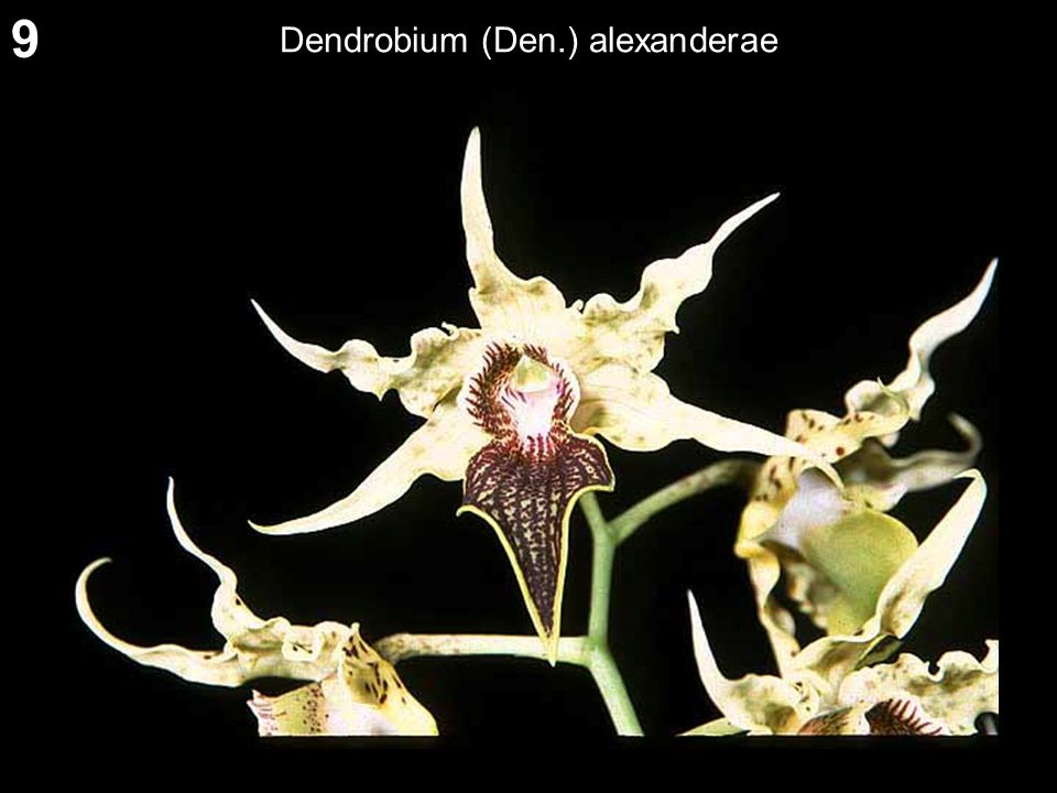 9 Dendrobium (Den.) alexanderae