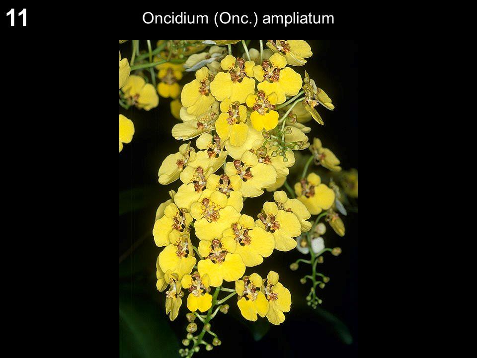 11 Oncidium (Onc.) ampliatum