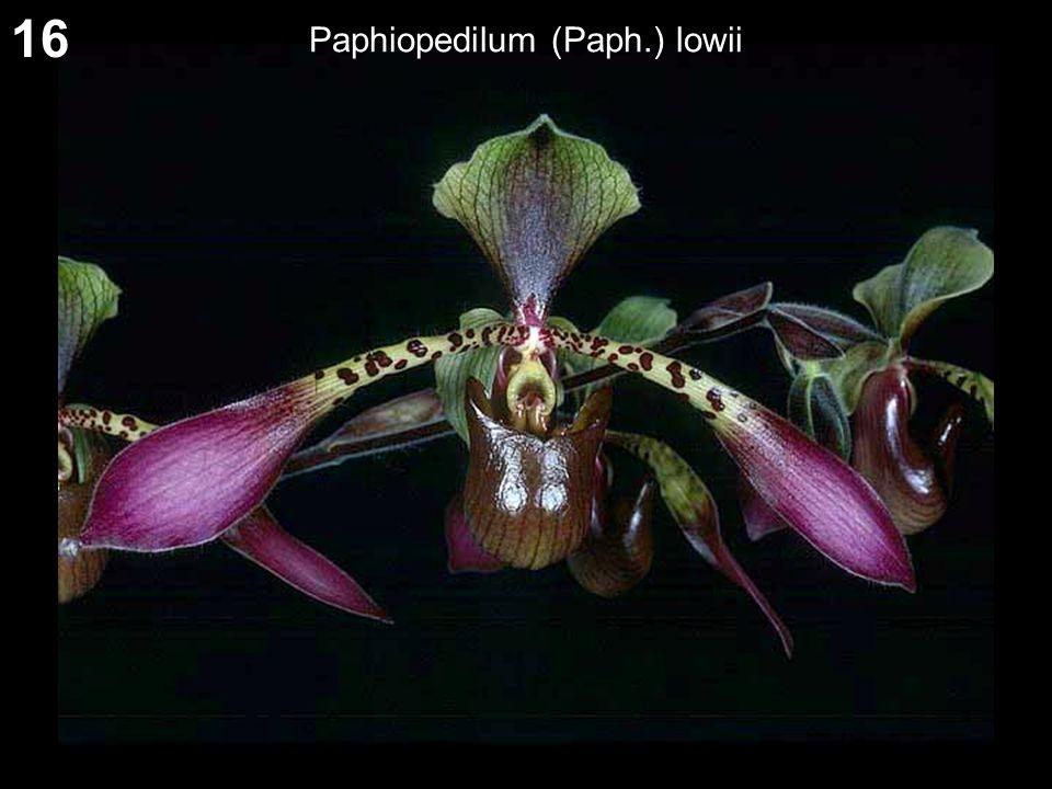 16 Paphiopedilum (Paph.) lowii