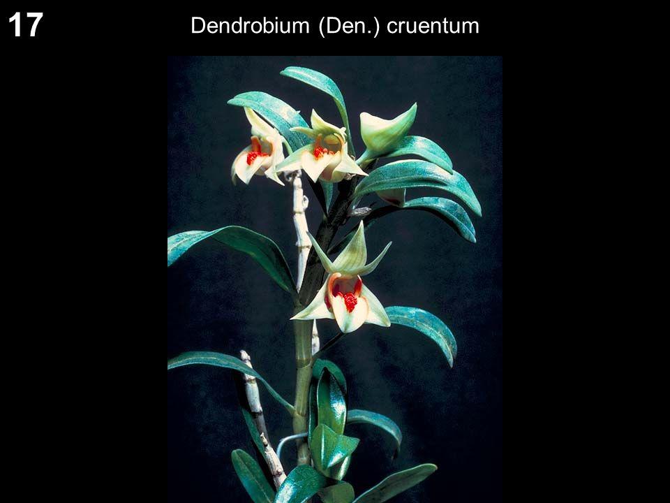 17 Dendrobium (Den.) cruentum