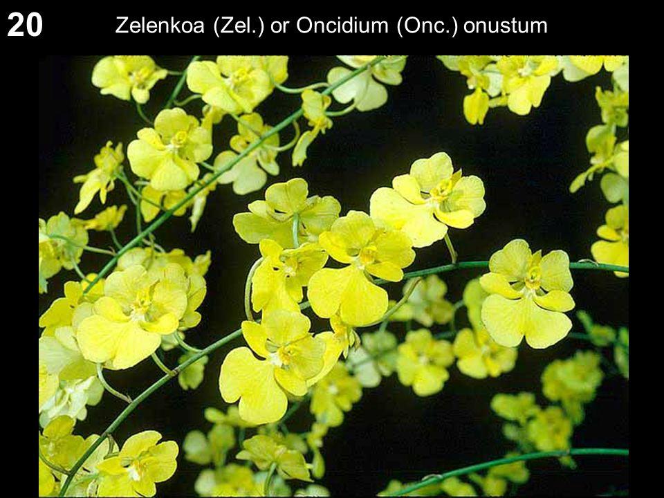 20 Zelenkoa (Zel.) or Oncidium (Onc.) onustum