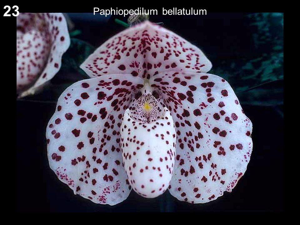 23 Paphiopedilum bellatulum