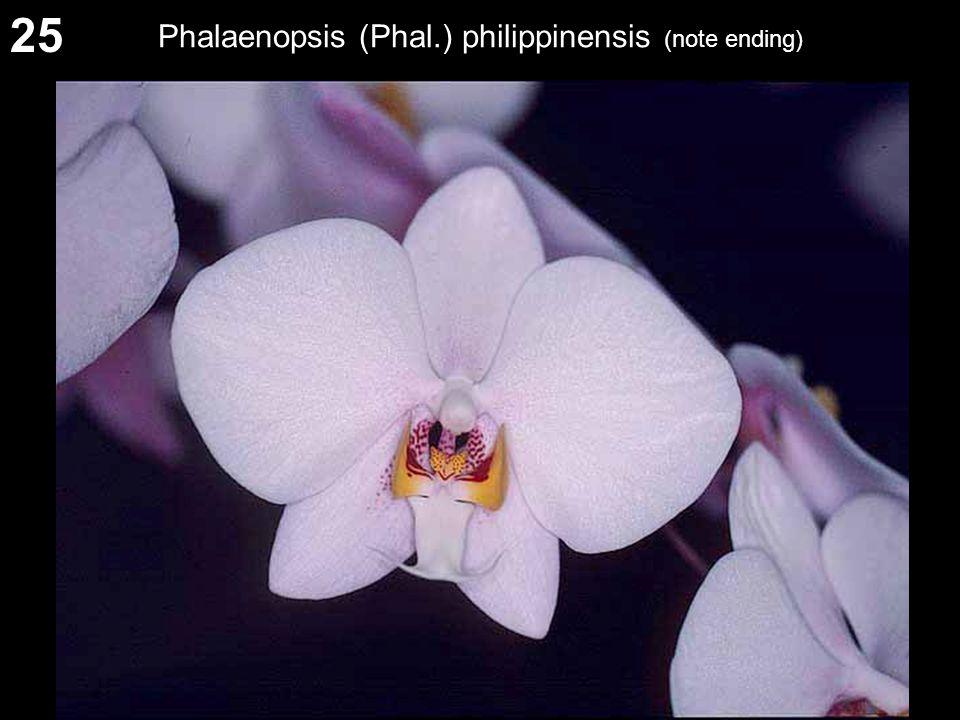 25 Phalaenopsis (Phal.) philippinensis (note ending)