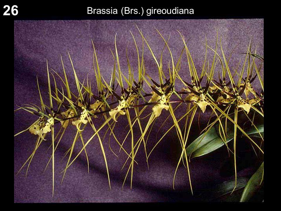 26 Brassia (Brs.) gireoudiana