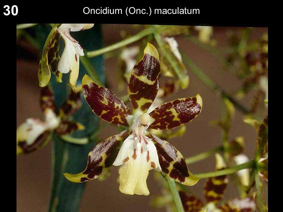 30 Oncidium (Onc.) maculatum