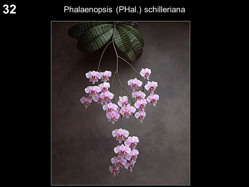 32 Phalaenopsis (PHal.) schilleriana