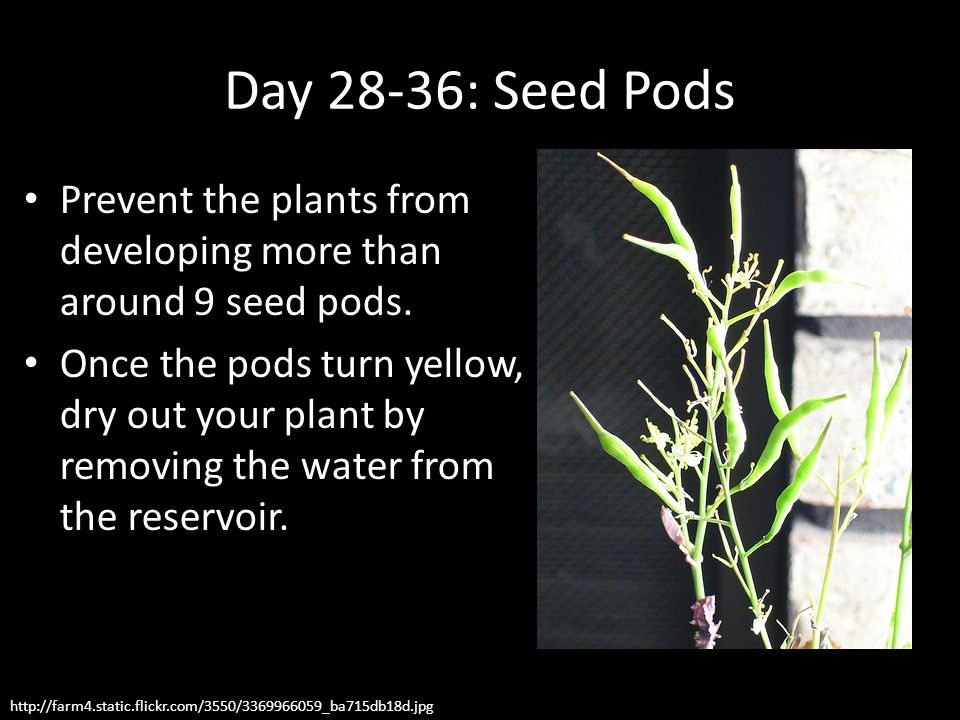 Day 28-36: Seed Pods Prevent the plants from developing more than around 9 seed pods.