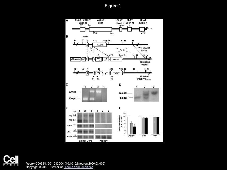 Figure 1 Neuron 2006 51, 601-612DOI: (10.1016/j.neuron.2006.08.005) Copyright © 2006 Elsevier Inc.