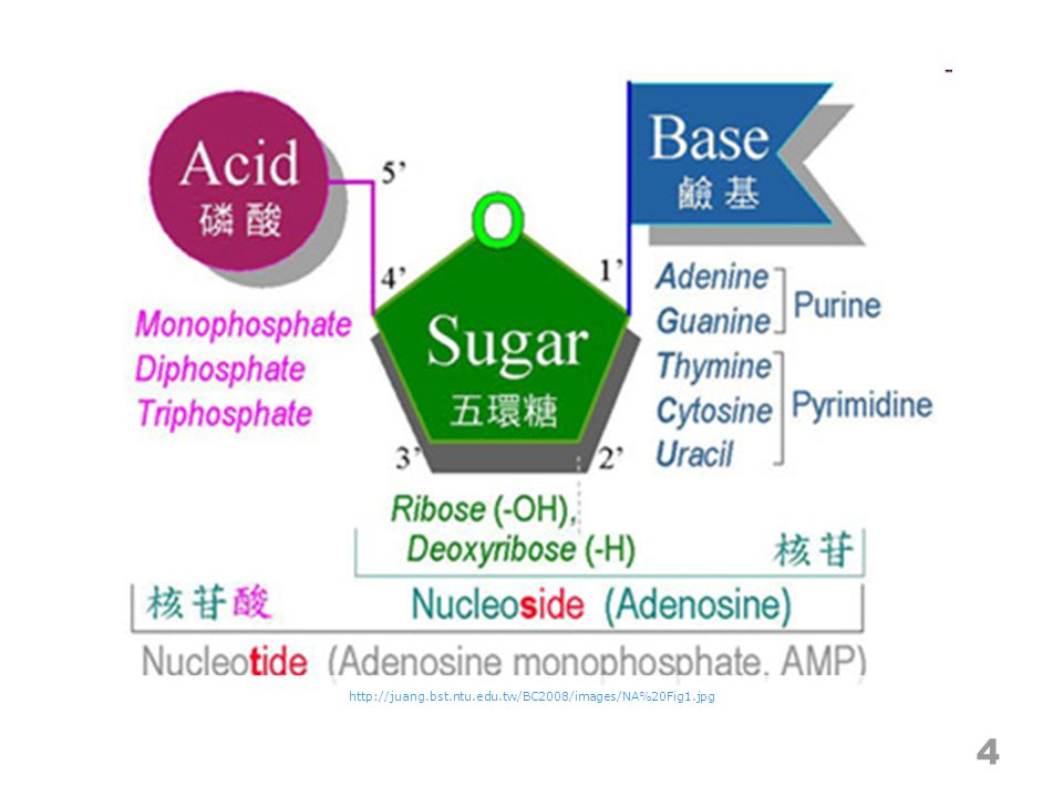 Transcription detail 25 http://www- class.unl.edu/biochem/gp2/m_biology/an imation/m_animations/gene2.swf