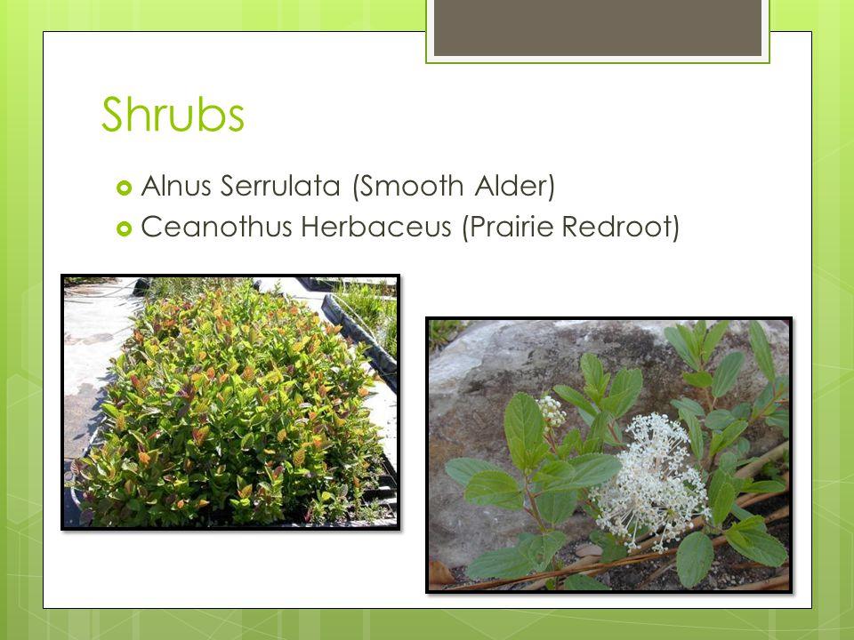 Trees needed  Viburnum Prunifolium (Smooth Blackhaw)  Ilex Decidua (Possumhaw Holly)